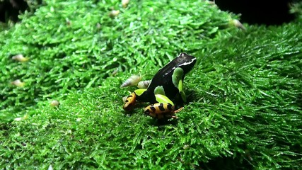 Madagascar poison frog (Mantella Baroni) & small snails