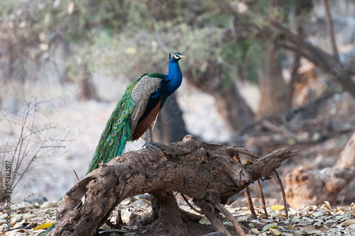 peafowl sitting on a tree trunk - national park ranthambore