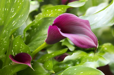 purple calla lily with many leaves