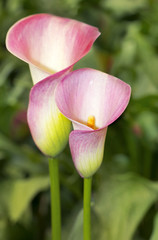 pink calla lily with many leaves