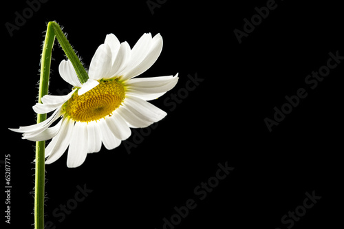 Foto op Plexiglas Madeliefjes Beautiful fresh white summer daisy