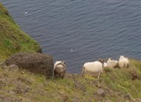 Steilküste mit Schafen auf der Halbinsel Snaefellsnes poster