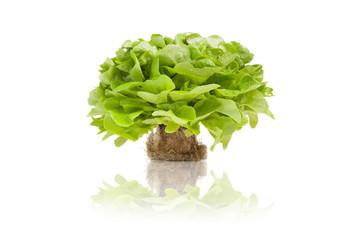 Kopfsalat mit Wurzelballen