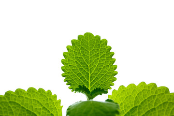 Mint leaves in backlit with white background isolated