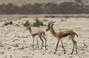 Dorcas Gazelle in Israeli nature reserve
