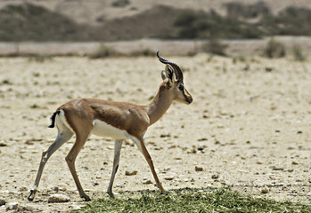 Dorcas Gazelle in Israeli nature reserve