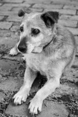 Old sick sad mix breed dog  monochrome photo