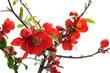 Obrazy na płótnie, fototapety, zdjęcia, fotoobrazy drukowane : Blooming Chaenomeles x superba Texas Scarlet