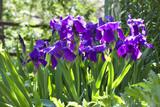 Violet iris flowers on flowerbed