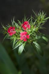 Dianthus barbatus flower closeup