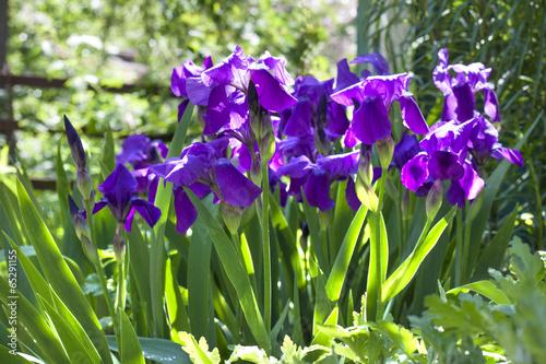 Foto op Canvas Iris Violet iris flowers on flowerbed