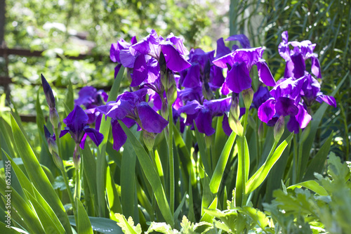 Poster Iris Violet iris flowers on flowerbed