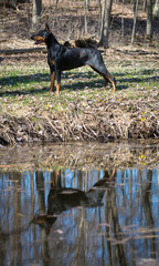doberman standing by water