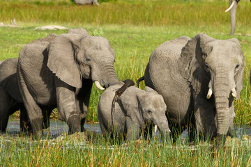 Grasende Elefanten im Wasser