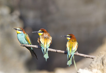 Three bee-eaters