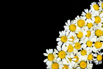 Beautiful daisies flowers isolated on black