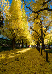 Ginkgo Tree Avenue