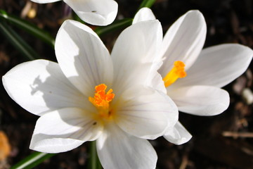 2 white crocus in spring