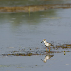 Common redshank bird in Nepal