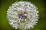 Löwenzahn / Pusteblume - 65303911