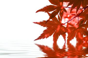 Ahorn im Wasser