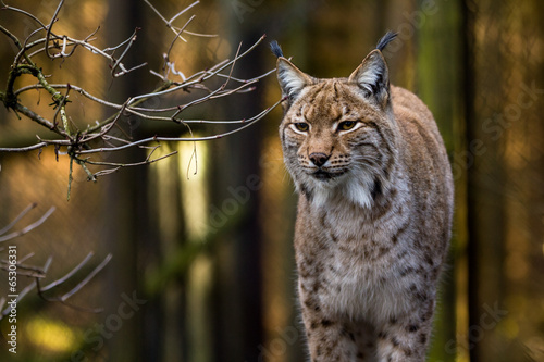 Foto op Canvas Lynx Close-up portrait of an Eurasian Lynx in forest (Lynx lynx)