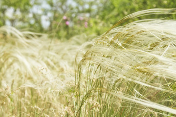 Feather grass is developing in the wind