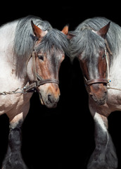 Two brabant horse  isolated on black
