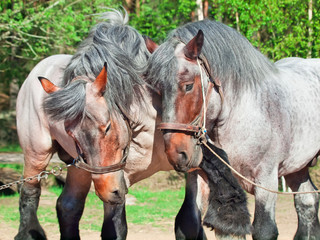 Two fighting brabant stallions.