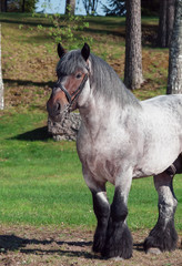 Belgian draught horse at forest background.
