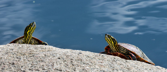 Painted Turtles on a Rock