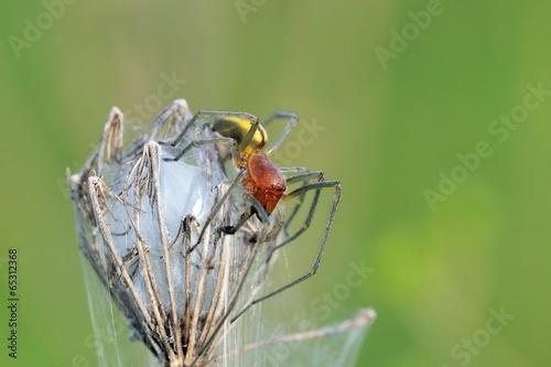 Cheiracanthium punctorium, male - 65312368