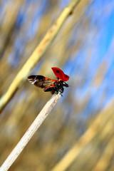 ladybug departing - ready to flying
