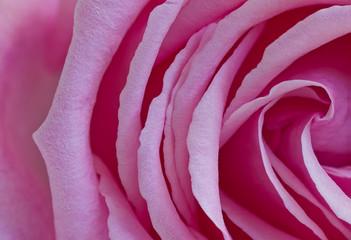 Pink rose-detail