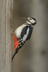 Male greater spotted woodpecker with food