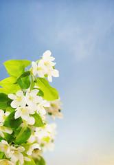 Flowering branch of apple tree against blue sky
