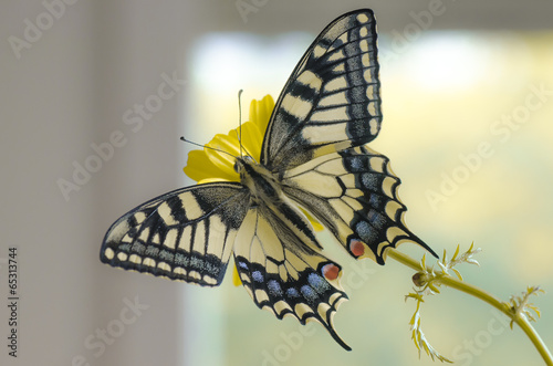 canvas print picture Papilio machaon
