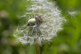 Grey dandelion with seeds. - 65315516