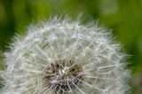 Grey dandelion with seeds. - 65315532
