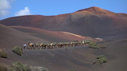 Lanzarote. Hilera De Camellos y Pastor