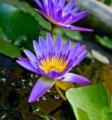 Purple lotus flowers and lotus flowers as a backdrop.