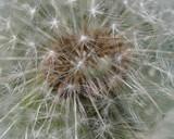 Inside a dandelion - 65316924