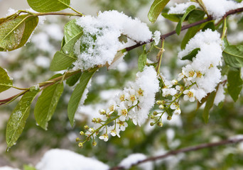 Snow and cold snap on flowering bird cherry