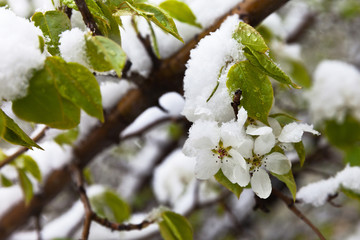 Cold snap in spring. Flowers of Apple trees in the snow