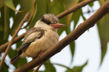 A tubby and fluffy Striped Kingfisher (Halcyon chelicuti) perche