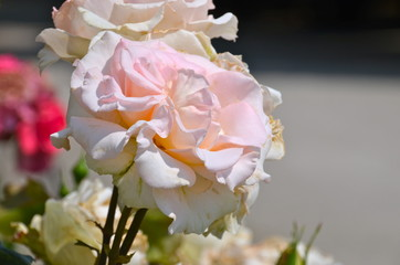 Colourful Roses in Schönbrunn park in Vienna, Austria