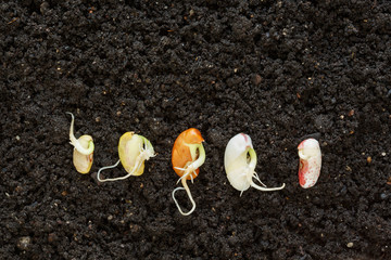 different been seeds germinating in soil