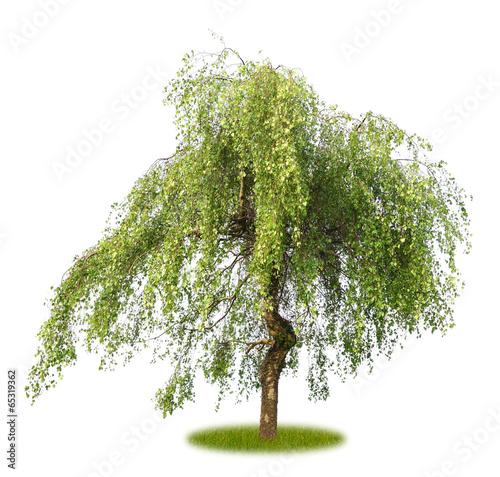 Tuinposter Olijfboom Freigestellte knorrige Hängebirke im Frühling