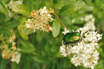 Green may-bug on a white flowers