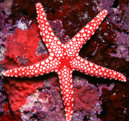 Beautiful red and White Starfish